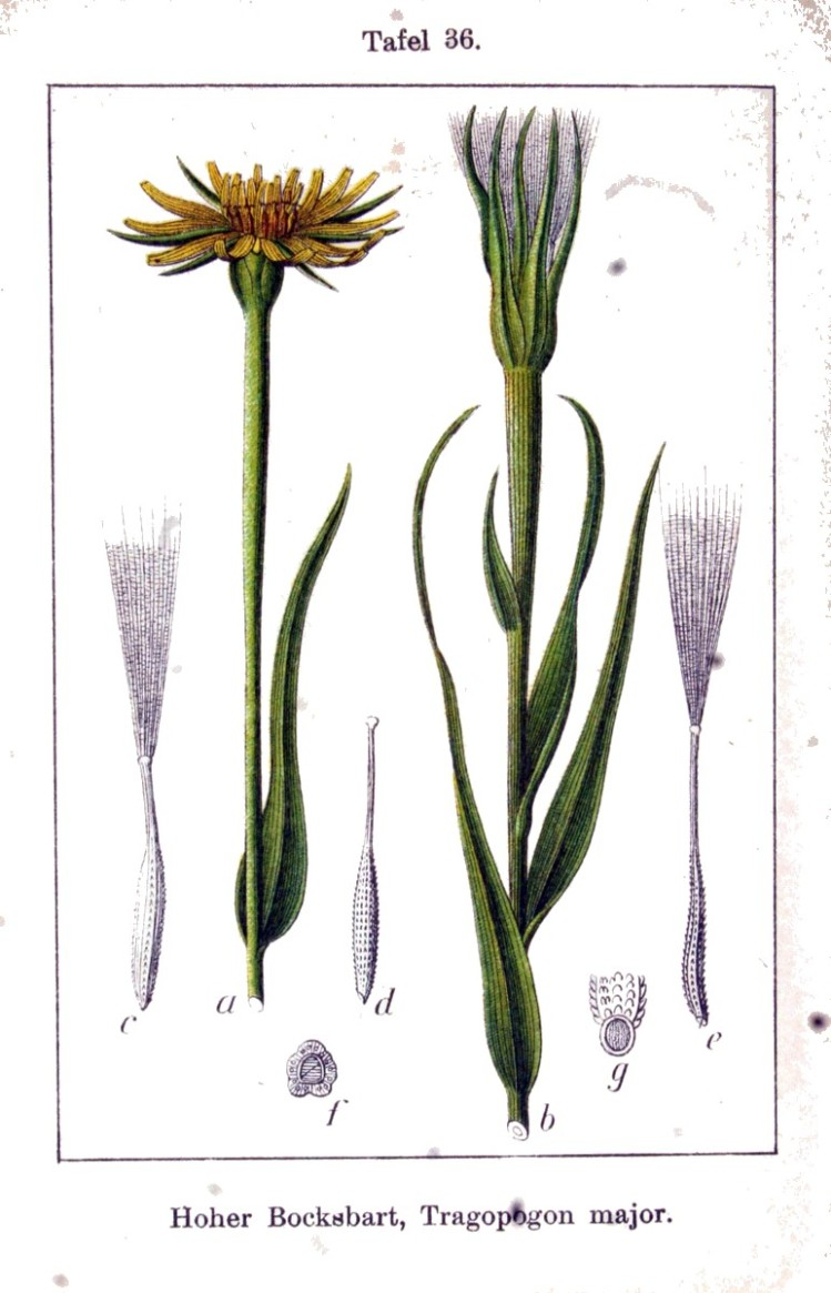 Botanical - Flower - Salsify